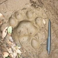 Penemuan Jejak Yeti di Rusia