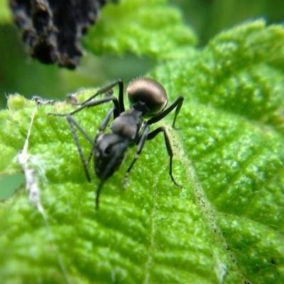 Semut Hitam, Sang Penyelamat